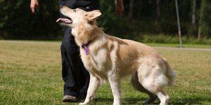 Как научить собаку команде Рядом. Обучаем собаку ходить рядом