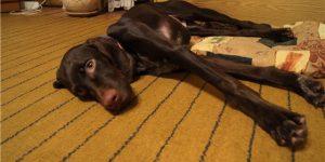Как диагностировать и лечить энтерит у собак