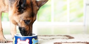 Чем кормить немецкую овчарку — правильный рацион взрослой собаки